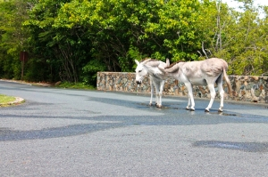 Donkeys on the road.
